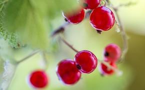 Picture berries, Bush, currants
