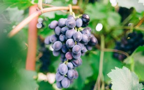 Picture leaves, blue, blur, grapes, bunch, vineyard, bokeh, vine
