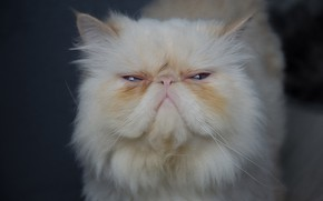 Picture cat, cat, face, the trick, Kote, Himalayan