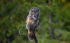 Picture look, owl, bird, branch, owl, motley