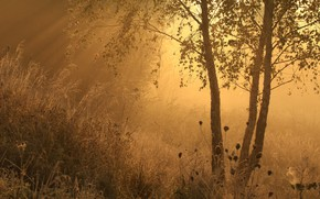 Picture grass, fog, morning, birch