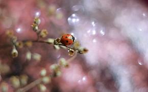 Picture macro, nature, sprig, ladybug, beetle, bokeh