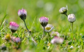 Picture grass, flowers, spring, meadow, grass, flowers, spring, sunlight, daisy, Daisy, Bellis