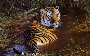 Picture look, tiger, figure, picture, bathing, art, painting, pond, Anthony Gibbs