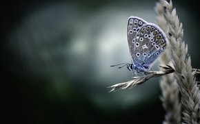 Picture macro, background, butterfly, ear, Polyommatus Icarus