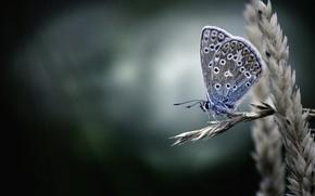 Wallpaper macro, background, Polyommatus Icarus, ear, butterfly