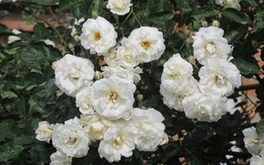 Picture flowers, roses, white, 2018, Meduzanol ©