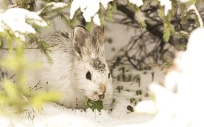 Picture winter, snow, rabbit