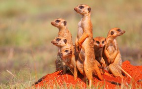 Picture sand, grass, meerkats, blur, stand, family
