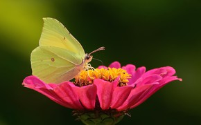 Picture flower, butterfly, bokeh, macro flowers nature, the limonite