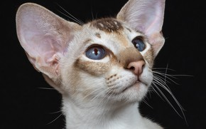 Picture portrait, muzzle, ears, blue eyes, the dark background, cat, Oriental cat