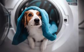 Picture look, face, dog, towel, washing machine, Kooikerhondje