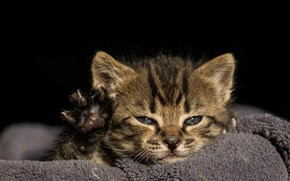 Picture look, light, kitty, grey, paw, portrait, baby, black background, kitty, face, striped, claws, foot