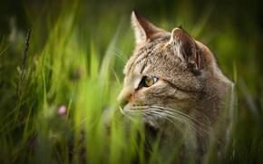 Picture cat, grass, cat, look, nature, grey, portrait, striped