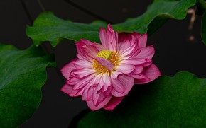Picture flower, leaves, the dark background, pink, Lotus