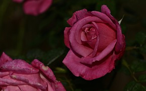 Picture drops, flowers, the dark background, roses, garden, pink