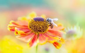 Picture flower, summer, macro, orange, red, bee, background, blur, insect, bokeh, gaylardiya
