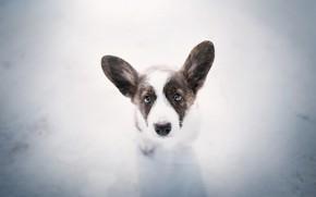 Picture look, each, dog, Corgi pup
