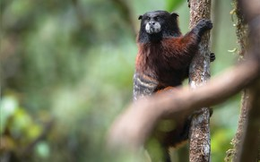 Picture look, branches, background, tree, monkey, bokeh, Tamarin
