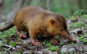Picture mammals, mole, Muskrat, insectivorous, desman