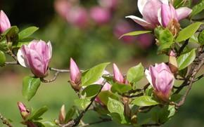 Picture nature, branch, flowering, Magnolia
