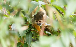 Picture leaves, branches, blur, monkey, monkey, squirrel monkeys