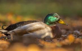 Picture autumn, leaves, light, background, bird, duck, bokeh, bright plumage, Drake