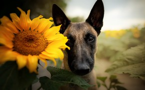 Picture each, sunflower, dog