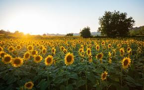 Picture flower, landscape, yellow, sunflower, #beauty