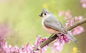 Picture nature, bird, branch, spring, flowering, crested tit