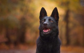 Picture dog, background, face, German shepherd, bokeh