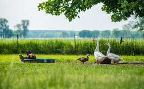 Picture greens, summer, grass, birds, branches, duck, village, the fence, food, lawn, swallow, geese, chickens, the …