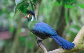 Picture background, bird, branch, Turako