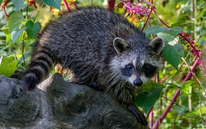 Picture look, leaves, flowers, branches, pose, tree, raccoon, face