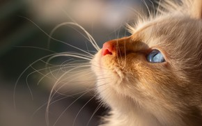 Picture cat, white, look, light, close-up, kitty, background, portrait, fluffy, profile, kitty, face, blue-eyed, color-point, Neva ...