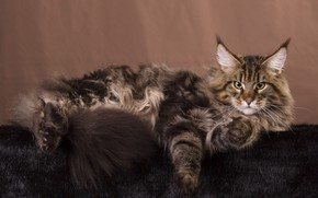 Picture cat, cat, look, pose, the dark background, grey, muzzle, tail, lies, fur, Maine Coon, Studio