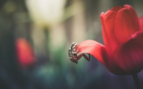 Picture flower, macro, red, background, Tulip, frog, petals, scrambles