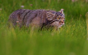 Picture field, cat, grass, look, nature, predator, meadow, wild cats, sneaks, manul