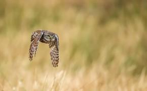 Picture owl, bird, flight