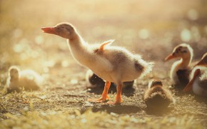 Picture light, birds, nature, pose, glare, background, mood, duck, treatment, yellow, company, Sunny, wings, ducklings, duck, …