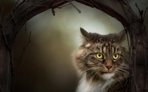 Picture cat, look, branches, muzzle, Kote
