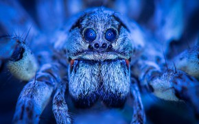 Picture macro, spider, handsome, blue light, Arachne, the space in the eyes