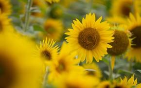 Picture field, summer, sunflowers, flowers, yellow, bokeh
