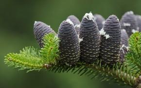 Picture macro, branch, bumps, fir