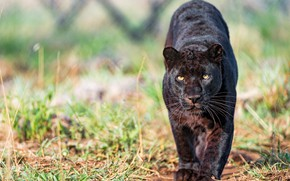 Picture grass, look, face, pose, background, paws, Panther, black, walk, wild cat, sneaks