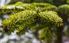 Picture needles, branches, nature, needles, coniferous