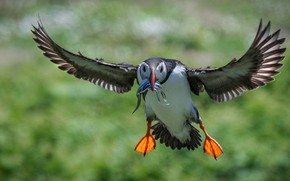 Picture flight, green, background, bird, wings, fish, feathers, stalled, flies, stroke, bokeh, mining, blurred background, Atlantic …