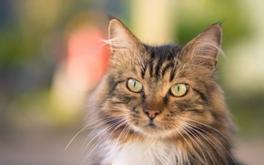 Picture cat, cat, look, face, grey, background, portrait, cat, fluffy, striped, bokeh