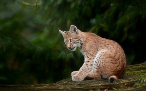 Picture forest, the dark background, log, lynx, sitting, needles, a small lynx