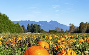 Picture field, autumn, harvest, pumpkin